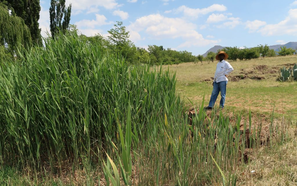 Albert Musi in his reed plot, photo by Kelly Benning